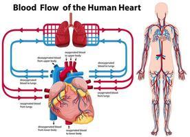 blodflödet i det mänskliga hjärtat