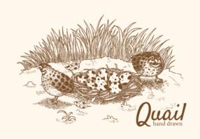 Quail vektor illustration