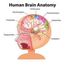 informationsaffisch av mänskligt hjärndiagram