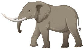 vuxen elefant med elfenben i tecknad stil på vit bakgrund