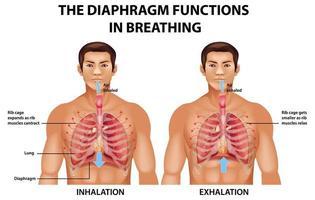 Das Zwerchfell funktioniert beim Atmen vektor