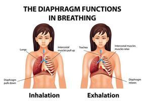 membranet fungerar i andningen