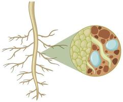 Nahaufnahme von Pflanzenwurzeln mit der Innenseite der Wurzelstruktur auf weißem Hintergrund isoliert vektor