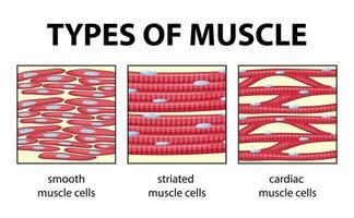 typer av muskelcelldiagram vektor