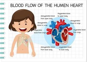 diagram över blodflödet i det mänskliga hjärtat vektor