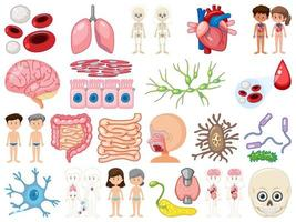 uppsättning mänskliga inre organ isolerad på vit bakgrund