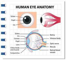 diagram över mänskligt öga anatomi med etikett