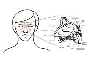 Nasale Anatomie