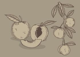 Pfirsich Hand gezeichnete Illustration Vektor