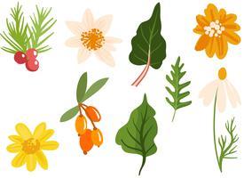 Heilpflanzen und Kräuter Vektoren