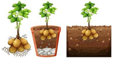 Satz Kartoffelpflanze mit Wurzeln lokalisiert auf weißem Hintergrund
