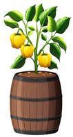 gelbe Paprika-Pflanze im hölzernen Topf lokalisiert auf weißem Hintergrund