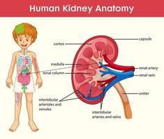 Infografik im Cartoon-Stil der menschlichen Nierenanatomie
