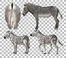 Satz von verschiedenen Seiten des Zebras isoliert auf transparentem Hintergrund vektor