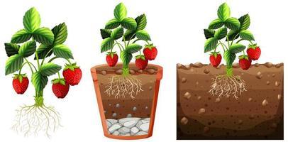 Satz Erdbeerpflanze mit Wurzeln lokalisiert auf weißem Hintergrund vektor