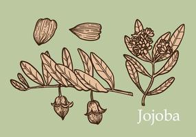 Jojoba-Satz-Hand gezeichneter Vektor