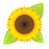 Sonnenblumenvektorentwurfsillustration lokalisiert auf weißem Hintergrund