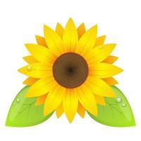 Sonnenblumenvektorentwurfsillustration lokalisiert auf weißem Hintergrund vektor