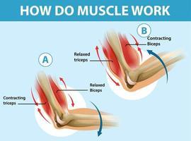 Bildungsplakat, wie Muskeln funktionieren vektor