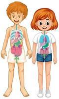 inre organ av kroppsdiagram vektor