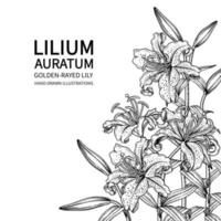 guldstrålade liljeblommor eller lilium auratum-ritningar. vektor