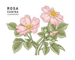 rosa hundros eller rosa canina blomma botaniska illustrationer. vektor