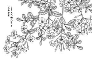plumbago auriculata eller cape blyort blommor ritningar. vektor