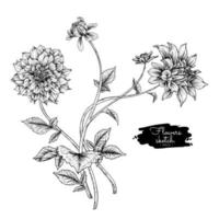 Dahlienblumenzeichnungen. vektor