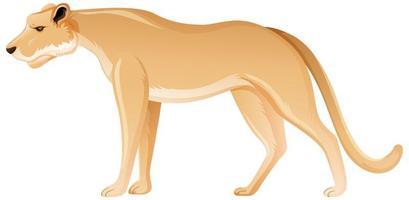 Löwin in stehender Position auf weißem Hintergrund