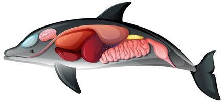 inre anatomi av en delfin isolerad på vit bakgrund vektor