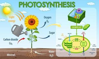 Diagramm, das den Prozess der Photosynthese in Pflanzen zeigt vektor