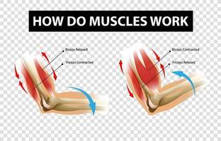 Diagramm, das zeigt, wie Muskeln mit Etiketten auf transparentem Hintergrund arbeiten vektor