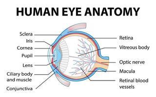 Diagramm der Anatomie des menschlichen Auges mit Etikett