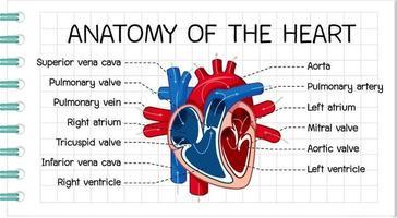informationsaffisch av mänskligt hjärtdiagram vektor