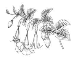 Engelstrompetenblumen- oder Brugmansia-Zeichnungen. vektor
