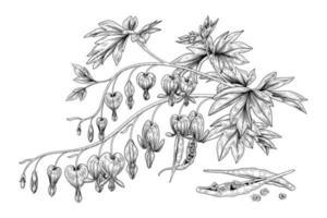Satz gezeichnete botanische Illustrationen der Hand des blutenden Herzens Blume. vektor