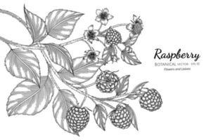 Himbeerhand gezeichnete botanische Illustration mit Strichzeichnungen auf weißem Hintergrund vektor
