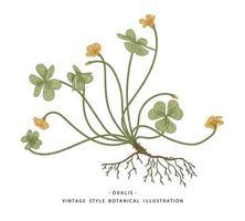 träsorrel eller oxalis acetosella handritade botaniska illustrationer. vektor