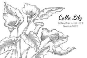 calla lilja blomma och blad handritad botanisk illustration med konturteckningar på vit bakgrund vektor