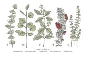 Hand gezeichnete botanische Illustrationen des Eukalyptuszweigsatzes. vektor