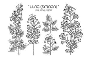Satz von Zeichnungen von Syringa vulgaris oder gewöhnlichen lila Blütenelementen vektor