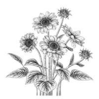 botanische Zeichnungen von Sonnenblumen vektor