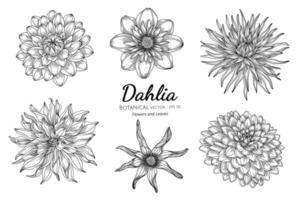 uppsättning dahlia blomma och blad handritad botanisk illustration med konturteckningar på vit bakgrund vektor