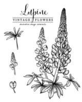 lupinblomma handritade botaniska illustrationer. vektor