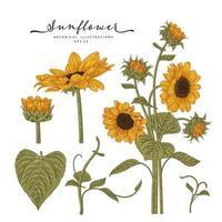 Sonnenblumen sehr detaillierte Zeichnungen. vektor
