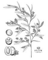 olivgrüne handgezeichnete botanische Illustrationen. vektor