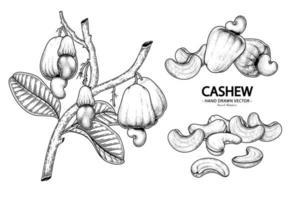 Satz gezeichnete Elemente der botanischen Illustration der Hand der Cashewfrucht vektor