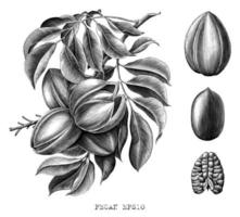 Pekannuss botanische Handzeichnung Gravurart Schwarzweiss-Kunst lokalisiert auf weißem Hintergrund vektor