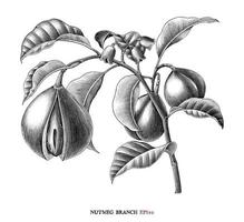 Muskatnusszweig botanische Zeichnung Vintage-Stil Schwarzweiss-Kunst lokalisiert auf weißem Hintergrund vektor