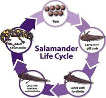 salamander livscykeldiagram vektor